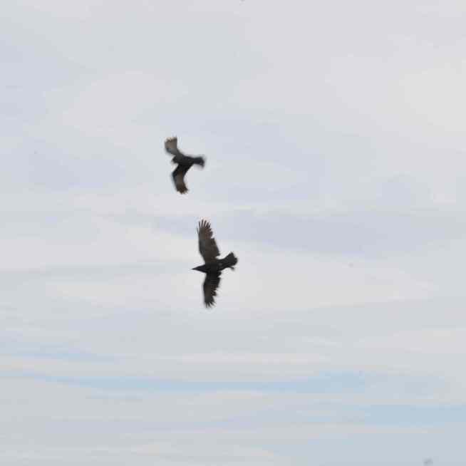 Aerial maneuvers by crows
